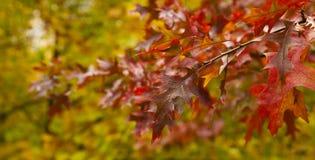 Branche de chêne rouge Images libres de droits