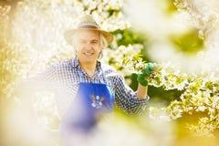 Branche de chapeau de fleur de cerise de jardinier Photos stock