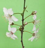Branche de Cherry Blossom Photographie stock