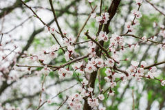 Branche de Cherry Blossom Photo stock