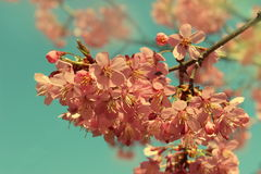 Branche de Cherry Blossom Photos stock