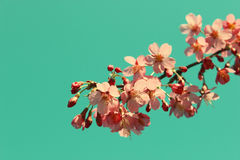 Branche de Cherry Blossom Images stock