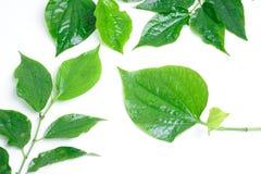 Branche de cinq feuilles betal sauvages Image libre de droits