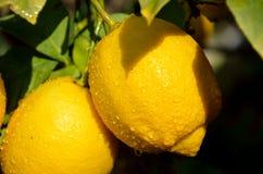 Branche de citronnier Images libres de droits