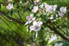 Branche de coing avec la fleur sensible Photographie stock