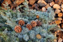 Branche de conifères avec des cônes avec le fond en bois Photo libre de droits