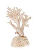 Branche de corail blanche d'isolement Photo libre de droits