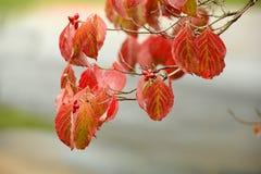 Branche de cornouiller fleurissant en automne tôt Photos stock