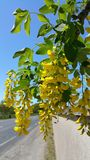 Branche de cytise Photo stock