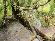 Branche de Deseased de lichen de witn d'arbre Images stock