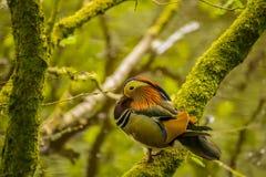 Branche de Duck Standing On A de mandarine près d'une rivière image stock