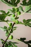 Branche de figues sur un figuier Image stock