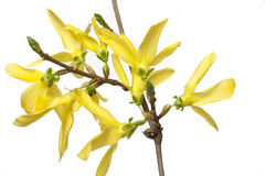Branche de fleur de forsythia Photo libre de droits