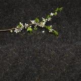 Branche de fleur de prune sur la partie supérieure du comptoir antique de granit de Brown Photographie stock