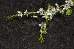 Branche de fleur de prune sur la partie supérieure du comptoir antique de granit de Brown Photographie stock libre de droits