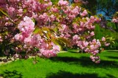 Branche de fleur de Sakura Photographie stock libre de droits