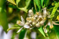 Branche de floraison d'un arbre orange Images libres de droits