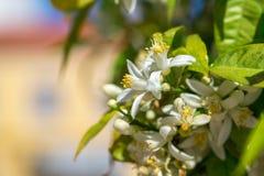 Branche de floraison d'un arbre orange Images stock