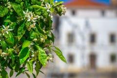Branche de floraison d'un arbre orange contre une place de ville Photos stock