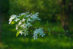 Branche de floraison de cerisier Photos stock