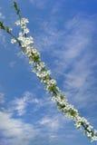 Branche de floraison de cerisier Image libre de droits
