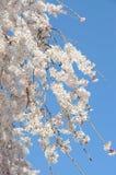 Branche de floraison de Cherry Blossom devant le ciel bleu Photos stock