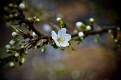 Branche de floraison de fleur de ressort Photographie stock