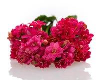 Branche de floraison de Kalanchoe Photographie stock