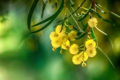 Branche de floraison de mimosa Images stock