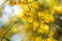 Branche de floraison de mimosa contre le ciel Photos libres de droits