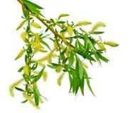 Branche de floraison de saule d'isolement sur le fond blanc / Sans s image libre de droits