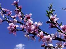 Branche de floraison du  h de Ñ€Ð?Ð°Ñ au ciel Photographie stock libre de droits