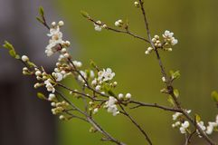 Branche de floraison de prune-arbre Images libres de droits