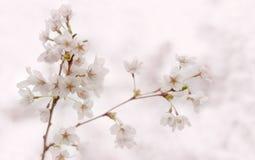 Branche de floraison de Sakura de cerise avec les fleurs blanches Ressort Photo stock