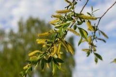 Branche de floraison de saule blanc contre le ciel bleu photo stock