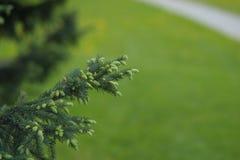 branche de Fourrure-arbre Photo stock