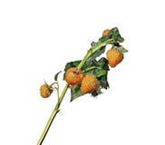 Branche de framboise avec les baies jaunes d'isolement Photos stock