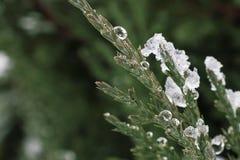 Branche de genévrier sous la neige avec des gouttes de l'eau congelée photographie stock