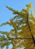 Branche de Ginkgo avec les feuilles jaunes photo libre de droits