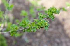 Branche de groseille à maquereau en premier ressort Photographie stock libre de droits