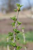 Branche de groseille à maquereau en premier ressort Photo libre de droits