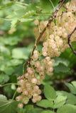 Branche de groseille blanche mûre Photos stock