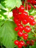 Branche de groseille rouge image stock