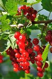 Branche de groseille rouge Photographie stock libre de droits