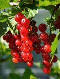Branche de groseille rouge Photos libres de droits