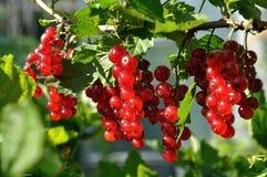 Branche de groseille rouge Photos stock