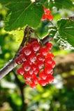 Branche de groseille rouge Images stock