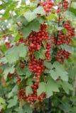 Branche de groseille rouge avec des baies (rubrum L de Ribes ) Photographie stock