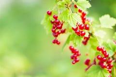 Branche de groseille rouge organique Images stock