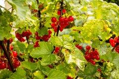 Branche de groseille rouge - rubrum de Ribes Photographie stock libre de droits